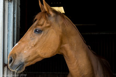 Rocks is back (RCB4J) Tags: horse art scotland ginger chestnut retired stable thoroughbred ayrshire gelding exracehorse sonydt18250mmf3563 sonyslta77v mandarinrocket ronniebarron rcb4j