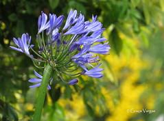 Agapanthus ( Graa Vargas ) Tags: flower bud agapanthus agapanto graavargas 2016graavargasallrightsreserved 13606200716