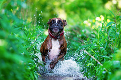in action (Tams Szarka) Tags: dog pet animal puppy outdoor nature forest nikon summer water fun running