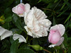 Roses in the rain (bryanilona) Tags: roses rain garden droplets petals buds fullbloom lovelyflowers fantasticflower languageofflowers flowerwatcher
