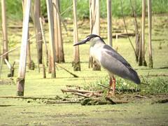 Black-crowned Night-heron (kidbirder) Tags: