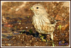 Verzellino (Serinus serinus) (michelangelo11) Tags: sardegna mountain nature birds animals fauna nikon sardinia natura uccelli montagna barbagia gennargentu desulo