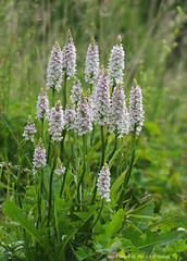 A collection of White Common Spotted Orchids - Dactylorhiza fuchsii var albiflora (favmark1) Tags: kent orchids wildorchids britishorchids commonspotted varalbiflora dactylorhizafushcii kentorchids