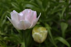 Tulp (Jaan Keinaste) Tags: flower estonia pentax tulip eesti k3 tulp loll tipukla pentaxk3
