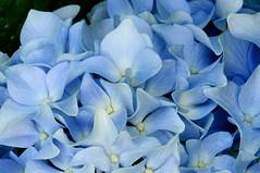 Hydrangea (menegue) Tags: blue flower macro closeup petal bloom hydrangea