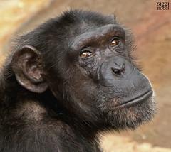 Tobias (siggi nobel) Tags: norwegen tobias kristiansand dyrepark schimpanse