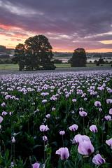 Opium (Stu Meech) Tags: pink trees mist field sunrise nikon stu lee dorset poppies opium meech 24120 durweston 09ndhardgrad