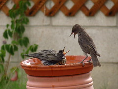 Young Robin Claiming Its Territory at the Bird Bath (KrisNM) Tags: summer bird robin backyard birdbath speckled