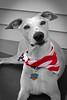 Happy Fourth (DiamondBonz) Tags: blue red dog pet white flag hound whippet spanky dogchal