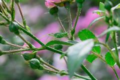 IMG_7576 (Lens a Lot) Tags: pink iris paris flower color macro green fleur field rose vintage plante insect de lens japanese prime purple bokeh 5 tube 55mm m42 grasshopper f22 20mm manual f8 vivitar extrieur fujinon depth blades champ | ext 2016 profondeur pentagone