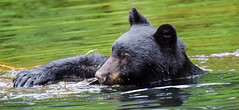 this water is great (wesleybarr1962) Tags: blackbear bear bearswimming