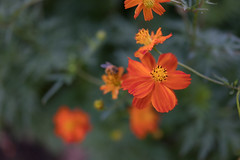 DSC02116 (Zengame) Tags: hamarikyu hamarikyugardens rx rx1 rx1r rx1rm2 rx1rmark2 sony zeiss cc cosmos creativecommons flower japan tokyo           jp