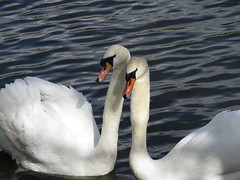 Swan selfie (Natalie_Burden) Tags: swan birds white black feather beak orange water canal river boats beautiful photoshop lightroom photo photograph outside queen property pretty elegant blue light eyes wings webbed