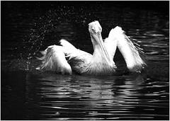Splish, splash, I was takin' a bath............. (kurtwolf303) Tags: krauskopfpelikan monochrome bw sw wasservogel tier animal bird vogel fotorahmen outdoor tierparkherberstein water wasser dalmatianpelican pelecanuscrispus pelikan olympusem1 omd microfourthirds micro43 systemcamera zoo austria sterreich animalplanet unlimitedphotos topf25 250v10f natur nature 500v20f topf50 topf75 750views topf100 800views 900views 1000v40f