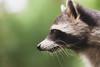 Quite photogenic (Poepoei) Tags: canon eos 450d rebel xsi color nature animal raccoon green bokeh dof whiskers planckendael muizen mechelen belgium sigma 150mm 150 macro f28 prime portrait closeup pose profile
