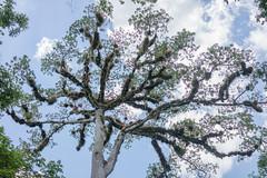 Ceiba Tree of Life (The City Project) Tags: guatemala maya peten tikal treeoflife