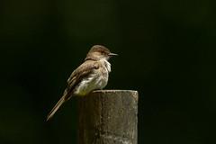 Eastern Phoebe II (SaunTek) Tags: eastern phoebe nature wildlife