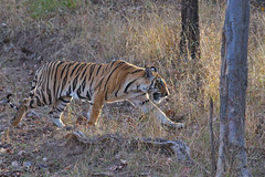 male Tiger cub, Pench National Park, India (cirdantravels) Tags: tiger pench pantheratigris bengaalsetijger