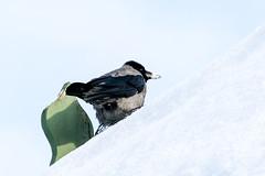A crow's pinky butthole (piropiro3) Tags: schnee winter snow ass germany deutschland butt bottom arse po crow arsch krhe butthole poloch
