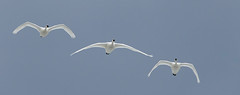 2015 March 15 Middle Creek-118_.jpg (jwfuqua-photography) Tags: birds nature pennsylvania jwfuquaphotography state park swans middle creek wma tundra jerry w fuqua pennsylvaniastatepark geeseandswans middlecreekwma tundraswans jerrywfuqua