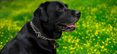 My Best Friend In My Darkest Hours (Chase in Color) Tags: zeiss labrador 55mm blacklab doser mustardplants a7s