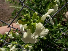 DSCF7462 (menchuela) Tags: flora british wildflowers espaola castillejo floressilvestres floresblancas britishflora menchuela