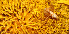 Life is a bed of flowers for this guy !!! What a luxury !!! (Ezhil Ramalingam) Tags: orange home yellow garden spider native sunflower pollen vellore lynxspider abigfave