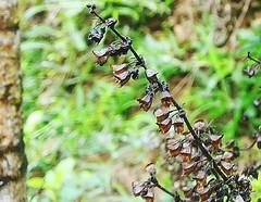 Tulsi (ksakshatha@ymail.com) Tags: plant nature tulsi cellphonephotography mobilephonephotography