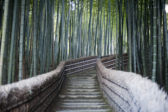 Bamboo Walk (Photo Everywhere) Tags: winter forest temple kyoto walk empty bamboo evergreen plantation sacred growing shinto pathway cultivated bamboolined