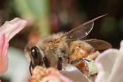 Bee (Zason Smith) Tags: jason flower macro nature canon washington wings smith bee widget pollen upclose hairylegs bugeye jasonsmith beeonflower insectmacro beemacro beefeeding hairybody hairybee zason zasonsmith