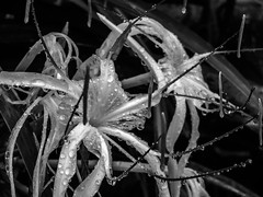 Raindrops B&W (Maganjoh) Tags: flowers nature rain nikon raindrops whiteflowers nikoncoolpix nikonp510
