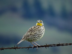 Western Meadowlark (2) (bulldog008) Tags: bird nature animal yellow outside outdoors wire beige pattern natural watch watching birding stripe feather hobby western perch barbed birdwatching speckled avian feathered meadowlark neglecta sturnella
