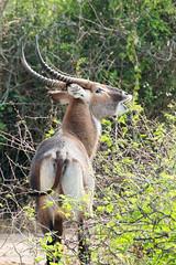 Defassa Waterbuck (luke.me.up) Tags: africa nature animals nikon wildlife safari uganda d800 80200 queenelizabethnationalpark qenp