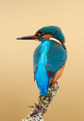 Portrait of a King (markrellison) Tags: wild portrait male bird water animal fishing branch wildlife kingfisher perched f56 lightroom iso320 alcedoatthis 420mm kingfishers 11250sec iso2500 lrcc ef300mmf28lisusm14x canoneos5dmarkiii lightroomcc
