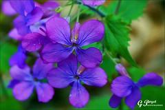 BRIN DE PRINTEMPS (Gilles Poyet photographies) Tags: nature fleurs printemps soe auvergne puydedme autofocus royat aplusphoto artofimages rememberthatmomentlevel1