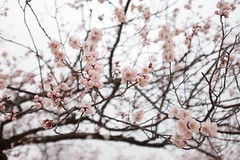 Spring at Palace (Sunyoung) Tags: spring traditional palace korea seoul cherryblossoms changgyeonggung gung