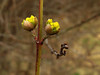 Cornelian cherry (aniko e) Tags: diversity som dogwood corneliancherry cornusmas cornus cornaceae hartriegel gelberhartriegel europeancornel húsossom dürlitze kornelkircsche kornelcherry