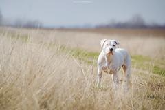 (Katarina Drezga) Tags: dog pet pets dogs animals perro hund perros hunde dogphotography petphotography dogoargentino nikond3100 nikkor55300mm4556gvr