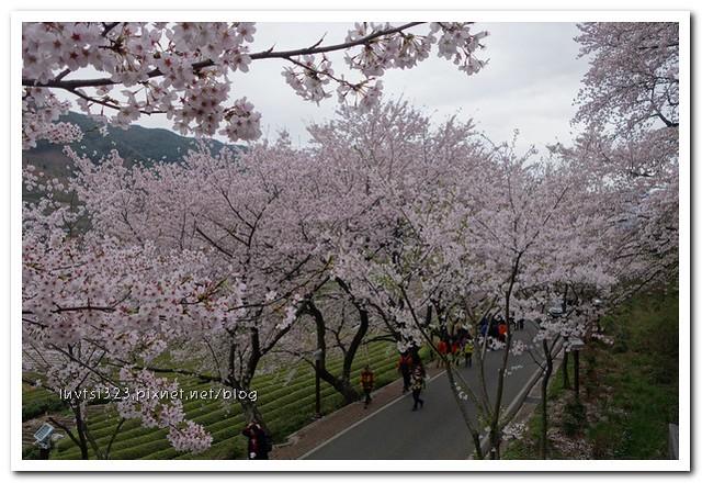 화개십리벚꽃길34
