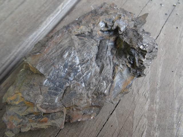 新竹尖石煤礦葉子化石06