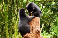 DSC_0889e1 (humbsmauro) Tags: bear brazil animals brasil photography zoo photo nikon foto bears animais urso ursos d5300