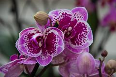 Orchid (Infomastern) Tags: orchid flower blomma orkide vellingeblomman