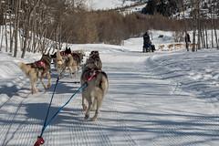 DSC03441_s (AndiP66) Tags: obergomsvs wallis schweiz sony dscrx100ii dscrx100m2 rx100ii rx100m2 andreaspeters husky tour hundeschlitten schlittenhunde eskimo dog sled sledge oberwald goms obergoms oberwallis winter suisse switzerland schnee snow mountains berge alps alpen valais