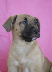 Cappuccino the 11 Week Old Female Shepherd Puppy (Immature Animals) Tags: pink arizona female mix tucson shepherd young az 11 marshall derek bark boxer weeks cappuccino barktucson