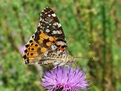 Vanessa cardui (R_Ivanova) Tags: summer macro nature colors butterfly insect sony vanessacardui природа пеперуда rivanova риванова