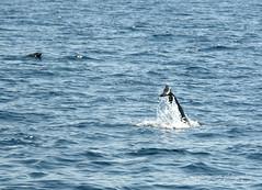 Taranto the City of Dolphins (Max Perrini alias IK7TOE) Tags: italy nikon dolphins taranto ik7toe nikond300s maxperrini thecytyofdolphins