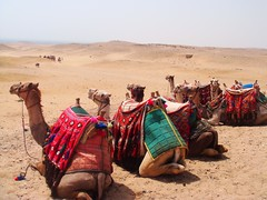camels (camille.ionaire) Tags: nature animals scenery egypt pyramids camels
