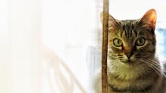 Looking you... (judithtrillo) Tags: wild pet home cat casa gatos gata felino vigo