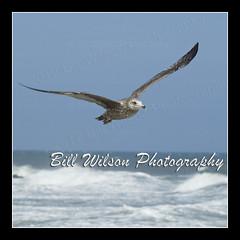 Gull Flight (wildlifephotonj) Tags: seagulls bird nature birds wildlife seagull gull gulls beachbirds naturephotography naturephotos wildlifephotography wildlifephotos beachphotos gullflight natureprints wildlifephotographynj naturephotographynj beachesnewjersey