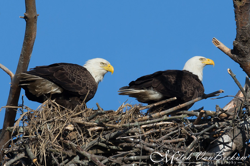 Bald Eagles - Proud Parents